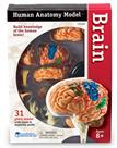 Learning Resources Brain Anatomy Model